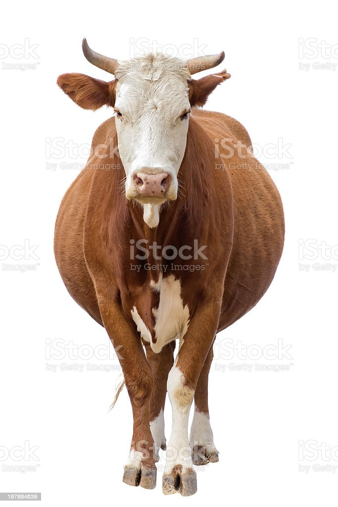 Brown, horned bovine, facing camera, isolated on white stock photo