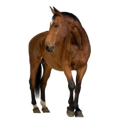 Men Holding Rear Horse Leg Lifted When Changing Mounting Horseshoe.
