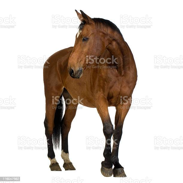 Brown horse against white background picture id116047562?b=1&k=6&m=116047562&s=612x612&h=jwx yxqayhxnam4jl tvsni3rcliysjapy6joeaxkr4=