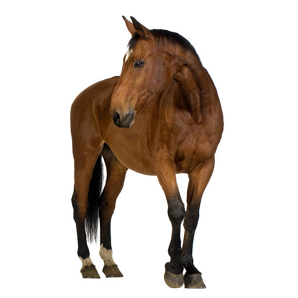 Brown horse against white background picture id116047562?b=1&k=6&m=116047562&s=612x612&w=0&h=chxdlmamddamge8grmmvh9ooro54vaaj4  q2suqnce=