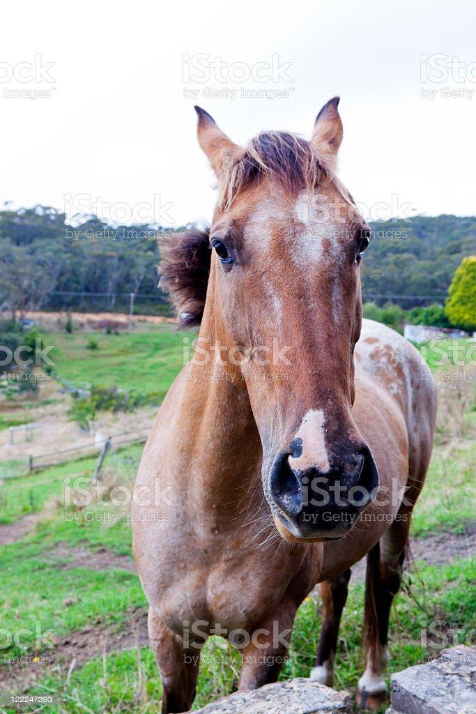 Brown horse Appaloosa on the farm royalty-free stock photo