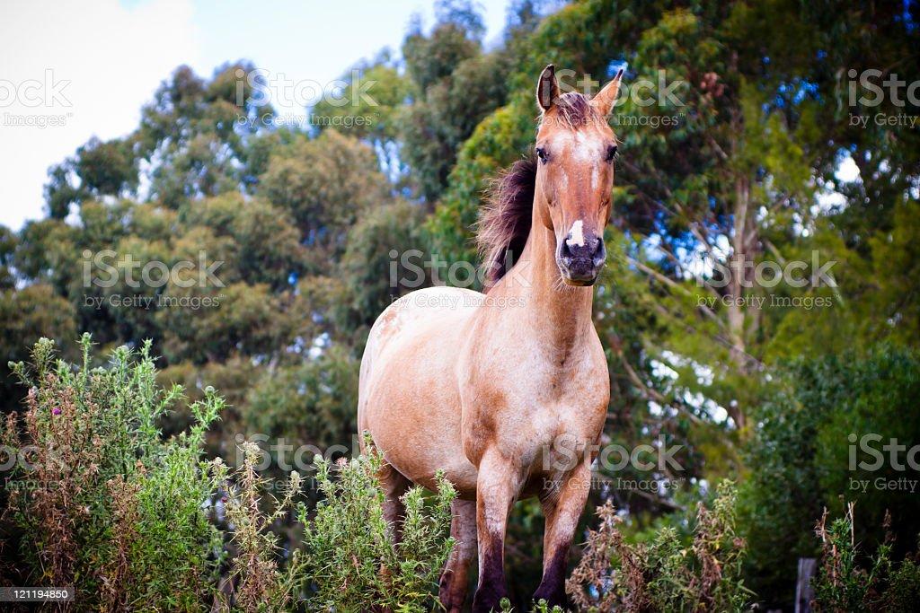 Brown horse Appaloosa runing thrue the bush royalty-free stock photo