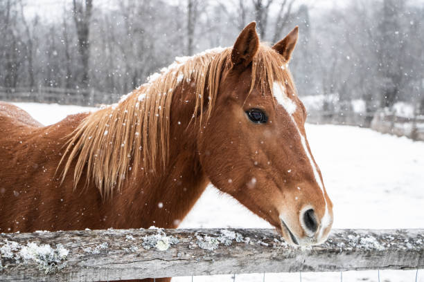 Brown horse behind fence picture id1086631812?b=1&k=6&m=1086631812&s=612x612&w=0&h=7eozrx4ocq3twyprvggzerw8yxnurp5rwczr6fhss4u=