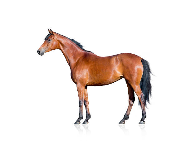 Royalty Free Horse White Background Pictures, Images and ...