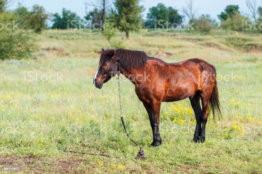 Brown horse eating grass on the field foto stock royalty-free