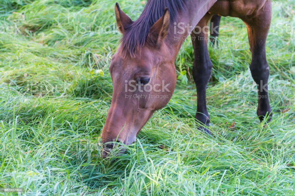 Brown horse grassing on a meadow stock photo