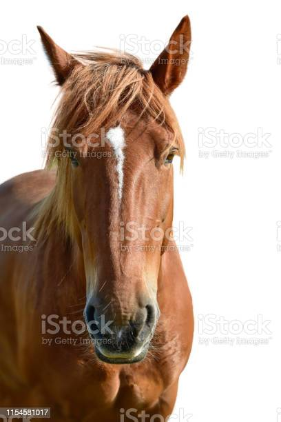 Brown horse head isolated on white picture id1154581017?b=1&k=6&m=1154581017&s=612x612&h=vdv18aa6bx iwzdgzvgqffkoectozutyobo8zl qo98=