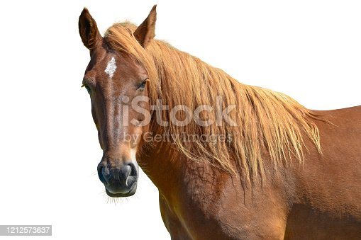 Horse head isolated on white background. A closeup portrait of the face of a horse