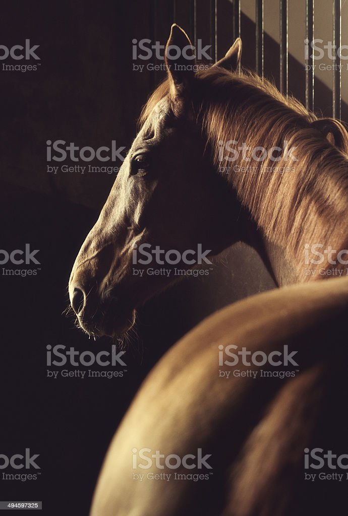 Brown horse headshot in stable stock photo