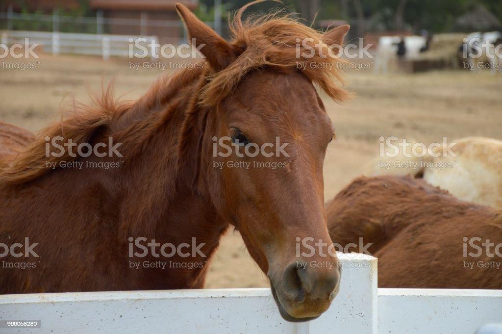 brun häst i landet Thailand - Royaltyfri Brun - Beskrivande färg Bildbanksbilder