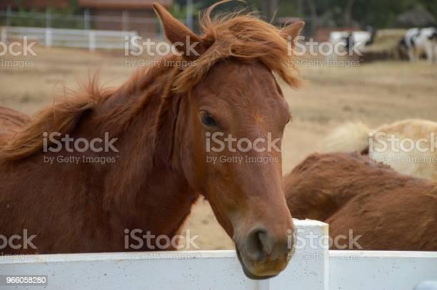 Brun Häst I Landet Thailand-foton och fler bilder på Brun - Beskrivande färg