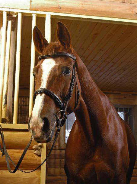 braunes pferd in stabile tür gebracht - gedehnte ohren stock-fotos und bilder