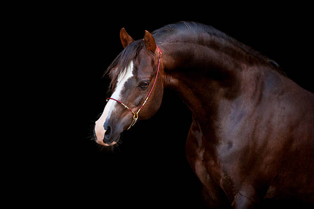 Brown horse isolated on black background Brown (dark-chestnut) horse portrait isolated on black background. arabian horse stock pictures, royalty-free photos & images