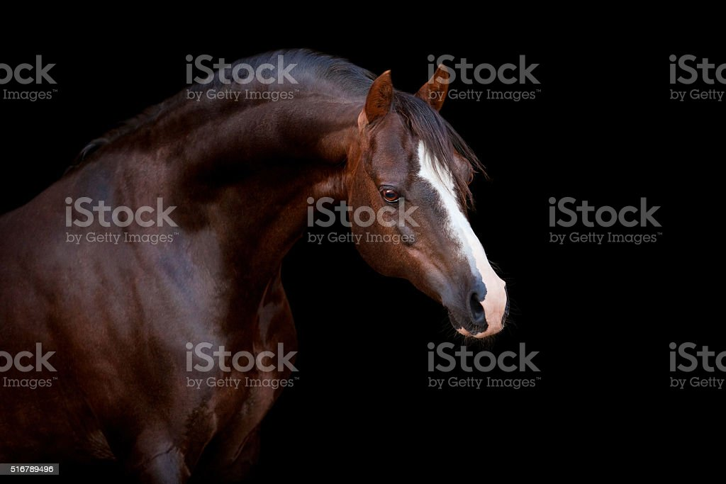 Brown horse isolated on black stock photo