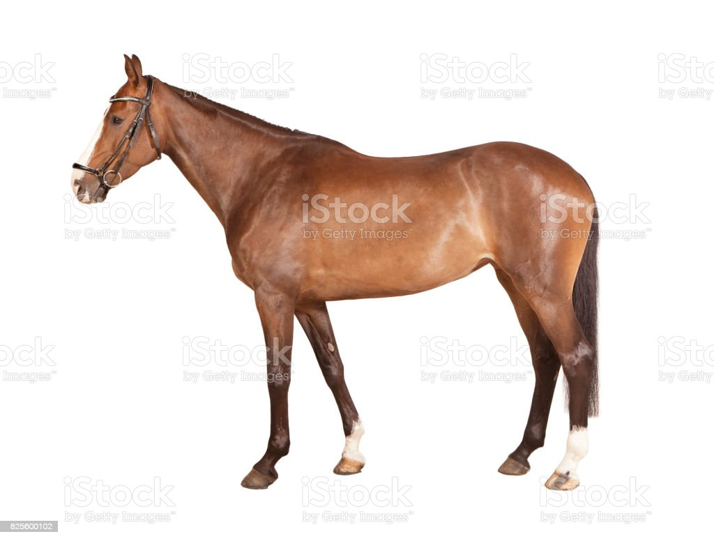 Brown horse isolated stock photo