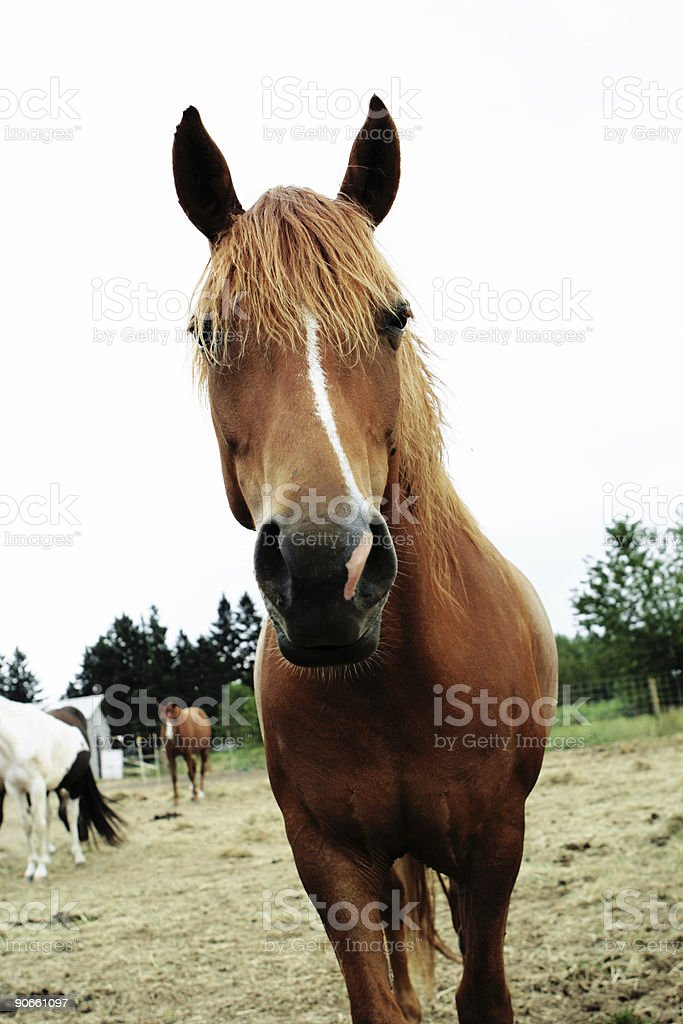 Brown Horse Looking into Camera royalty-free stock photo