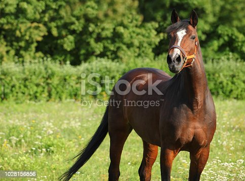 Brown dressage horse portrait on a green background  in summer farm