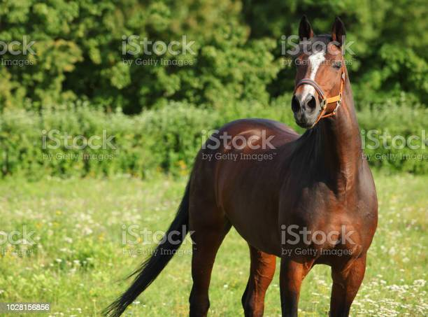 Brown horse on a green meadow farm picture id1028156856?b=1&k=6&m=1028156856&s=612x612&h=98cvdejriubdsvwdyezbx iszt k 75e0og9xctkscw=
