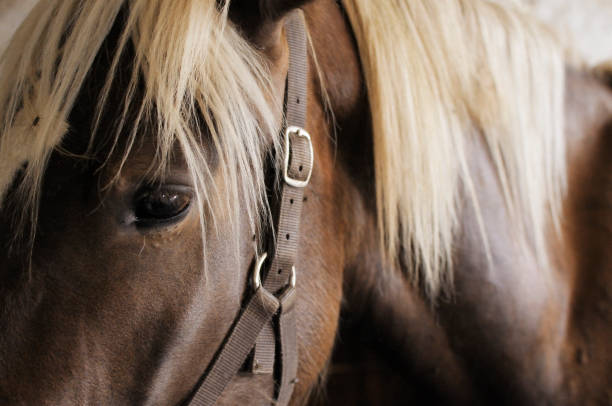 cavallo marrone - horse bit stock pictures, royalty-free photos & images