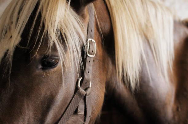 Cavallo marrone Primo piano di un cavallo marrone in scuderia arabian horse stock pictures, royalty-free photos & images
