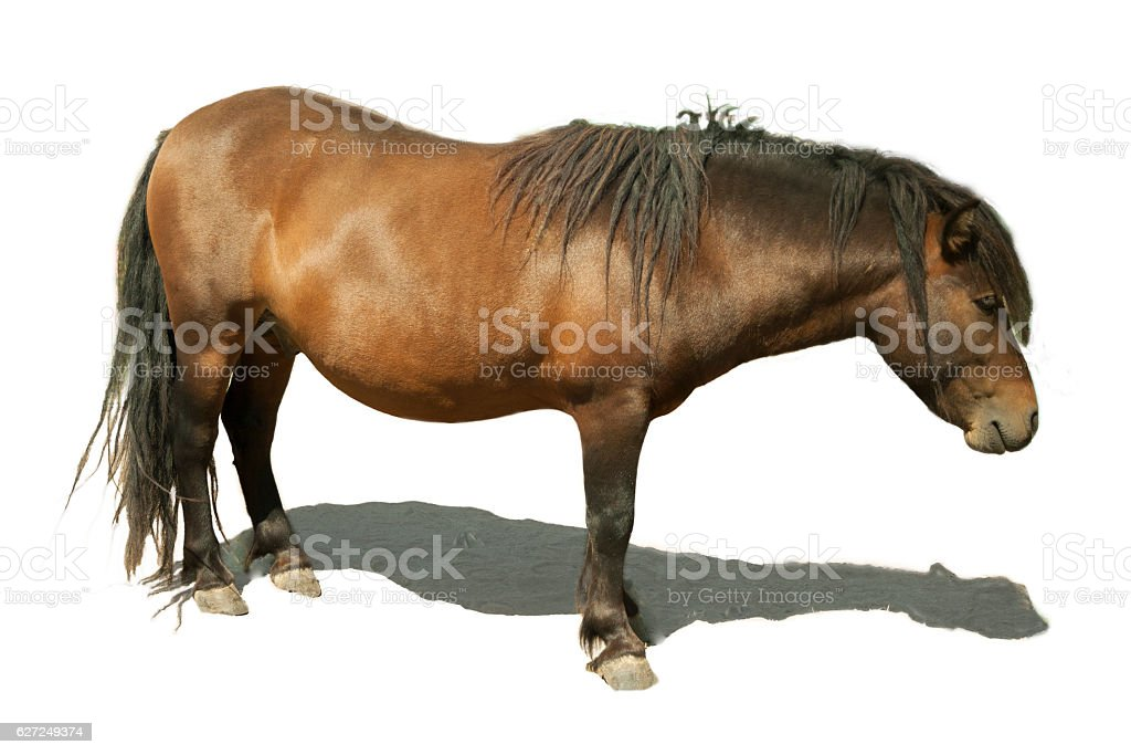 Brown horse pony with shadow on a white background stock photo