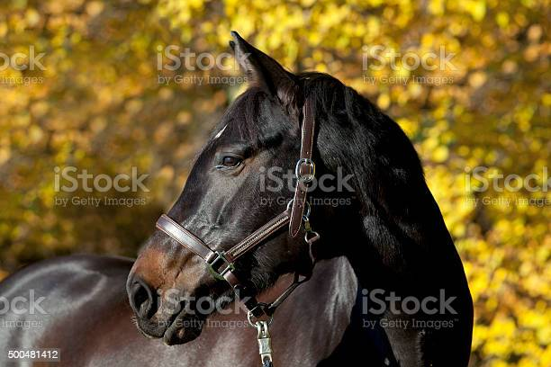 Photo of brown horse portrait with yellow autumn leaves in background