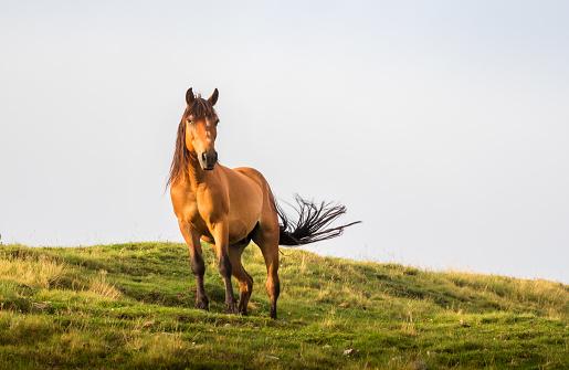 棕色的馬在夏天的陽光下擺姿勢野生景觀與馬在夏季進入山區 照片檔及更多 動作 照片