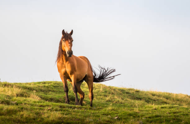 棕色的馬在夏天的陽光下擺姿勢。野生景觀與馬在夏季進入山區。 - 馬 個照片及圖片檔