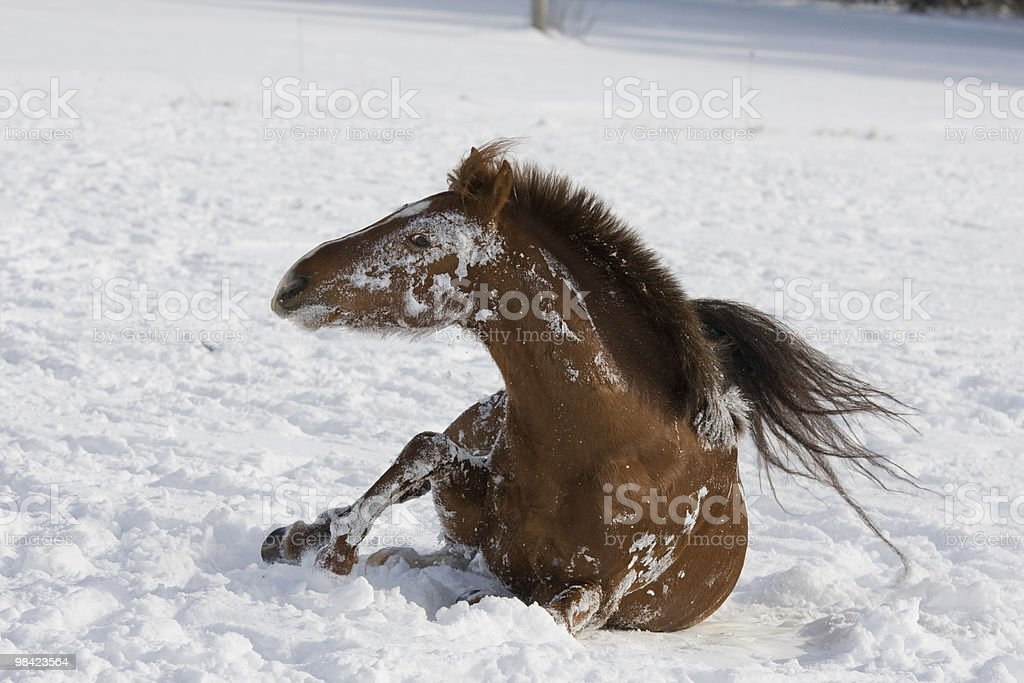 Brown horse rolling on snowy meadow royalty-free stock photo