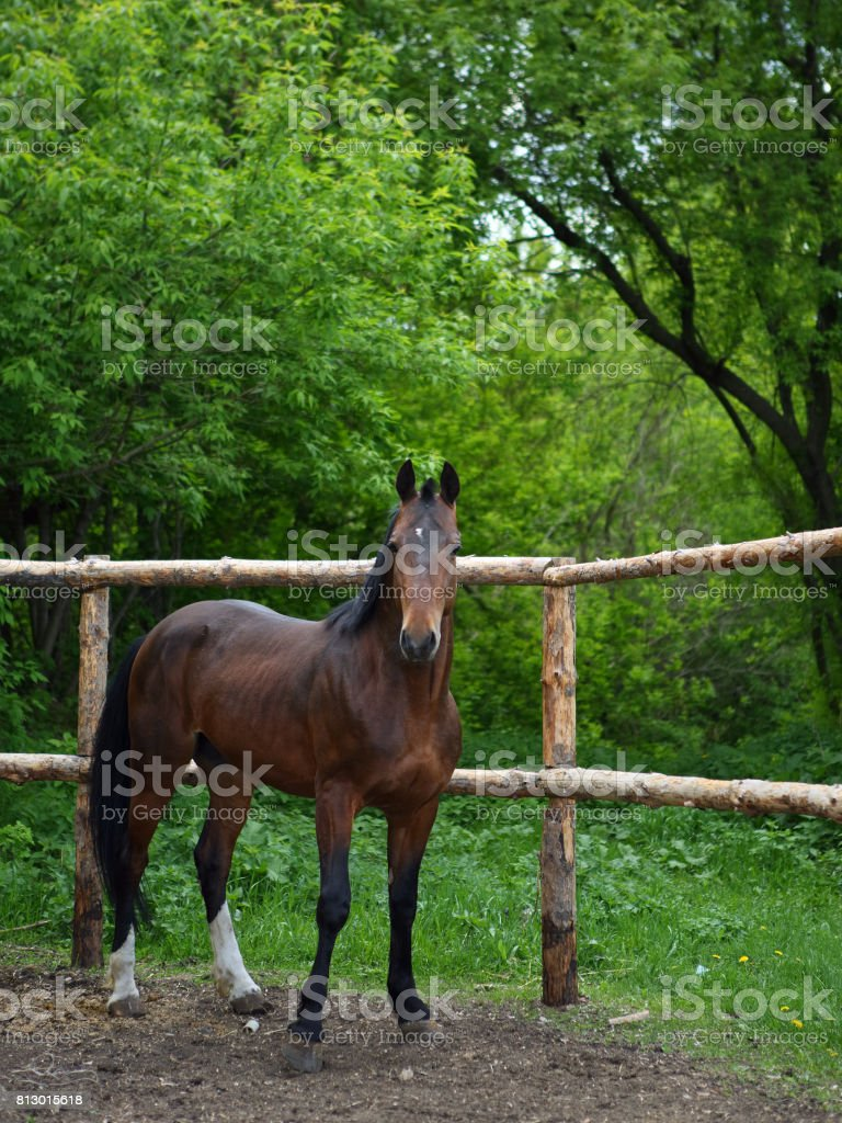 Brown horse running home in the summer day stock photo