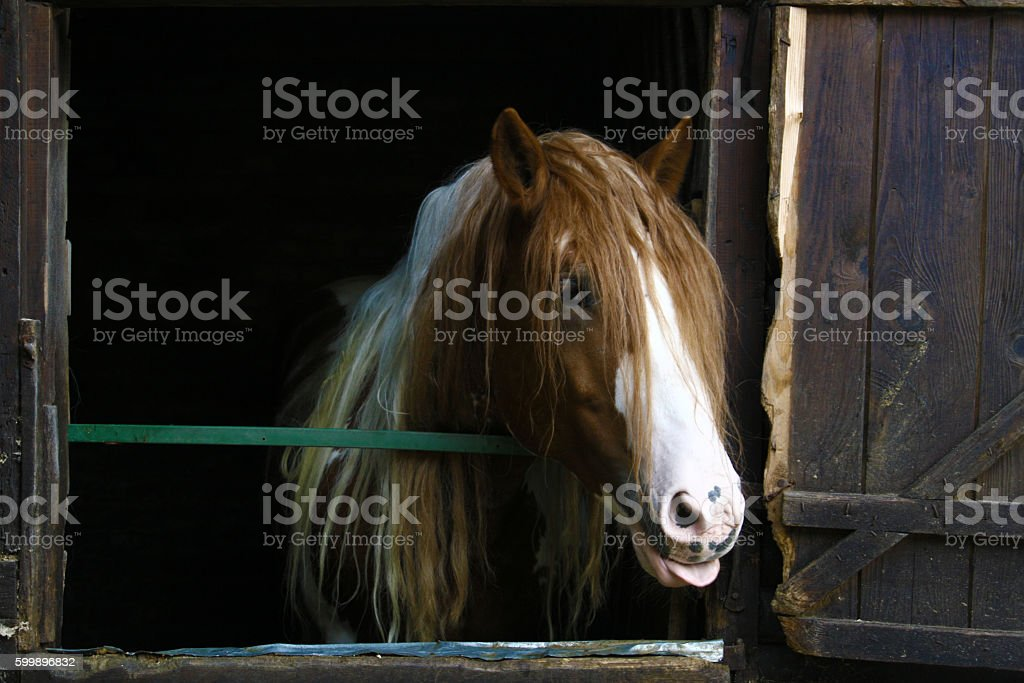 Brown horse showing tongue stock photo