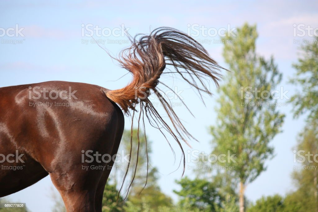 Brown horse swinging its tail stock photo