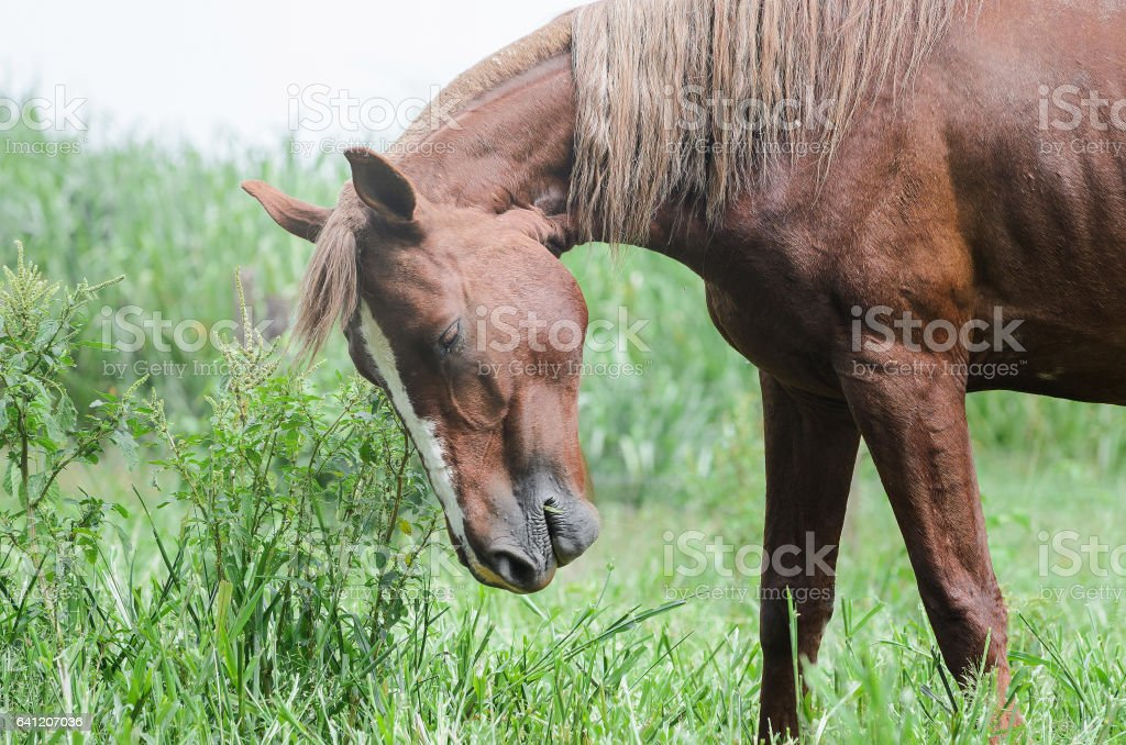 Cavalo marrom chateado em campo de grama verde fazenda - foto de acervo