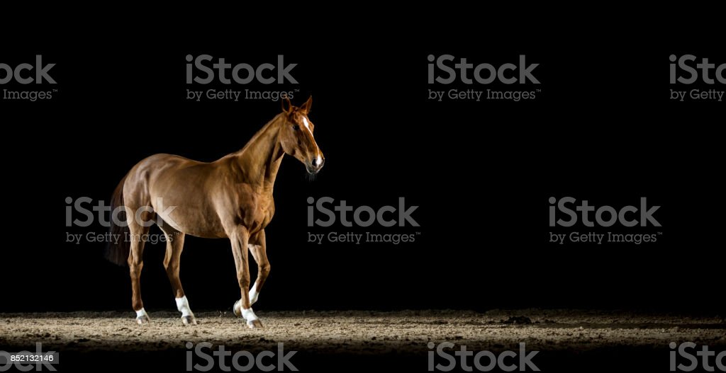 Brown horse walking in riding hall at night stock photo