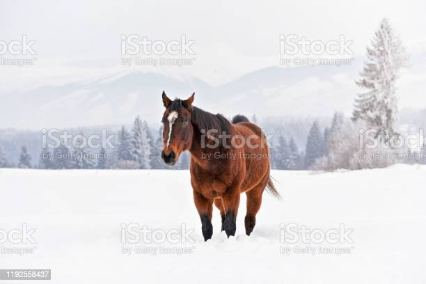 Brown horse walks towards camera on snow covered field in winter picture id1192558437?b=1&k=6&m=1192558437&s=612x612&h=9eqjsgos8 dur3j0wiq3wwfe kq4ujhlbf6fmaye bg=