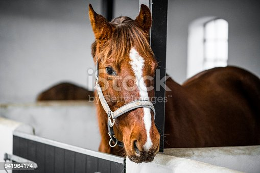 Brown horse with a grime in a white stable in bright daylight