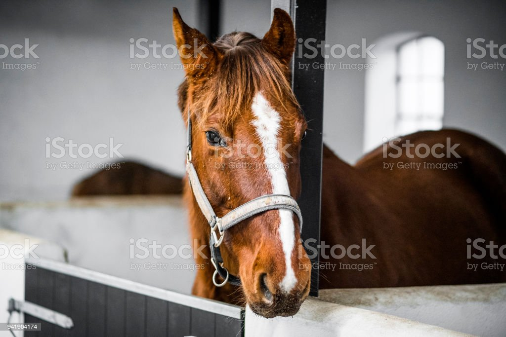 Brown horse with a grime in a white stable stock photo