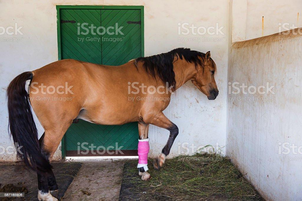 brown horse with bandaged on injured leg – Foto