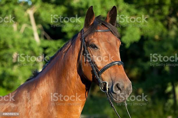Brown horse with bridle picture id496569324?b=1&k=6&m=496569324&s=612x612&h= wmg7iuwvomqrkns6lxfsstqef4jvubn3 d3r vb1 s=