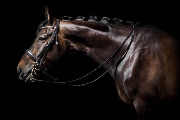 cheval brun avec bride - dressage photos et images de collection