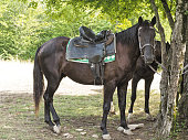 Side view of dark brown horse with saddle tied to tree at natural background