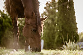 Two brown horse eating grass on sunny day