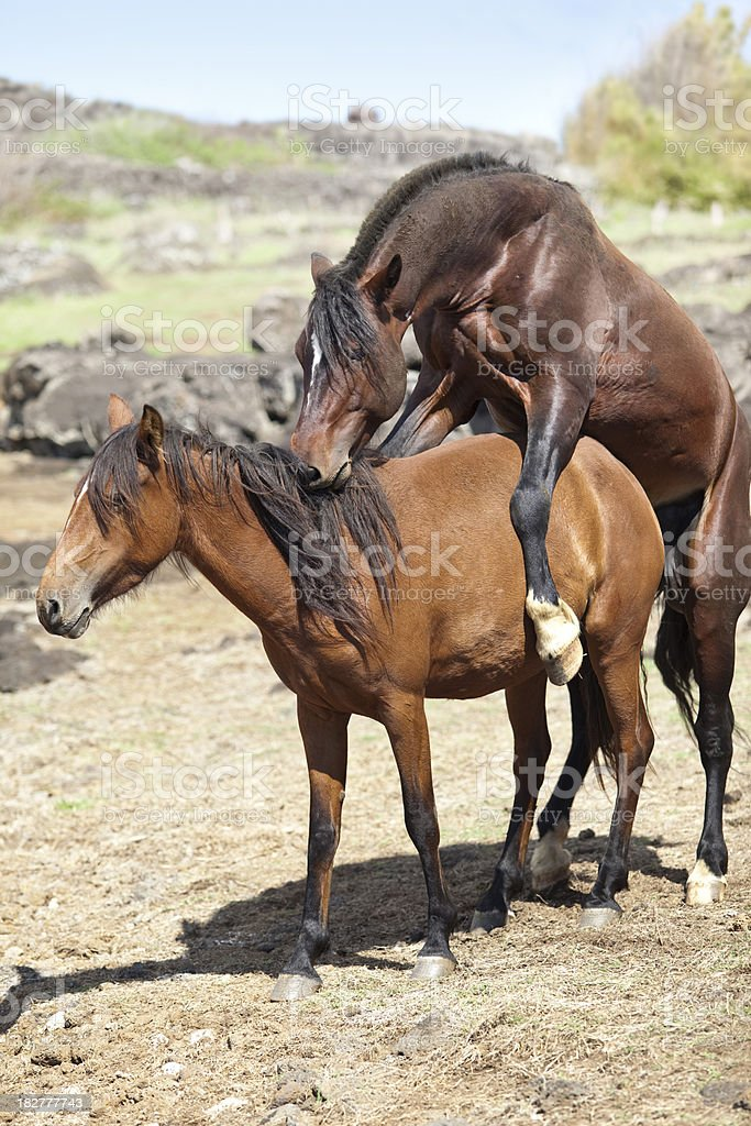 Brown horses mating stock photo