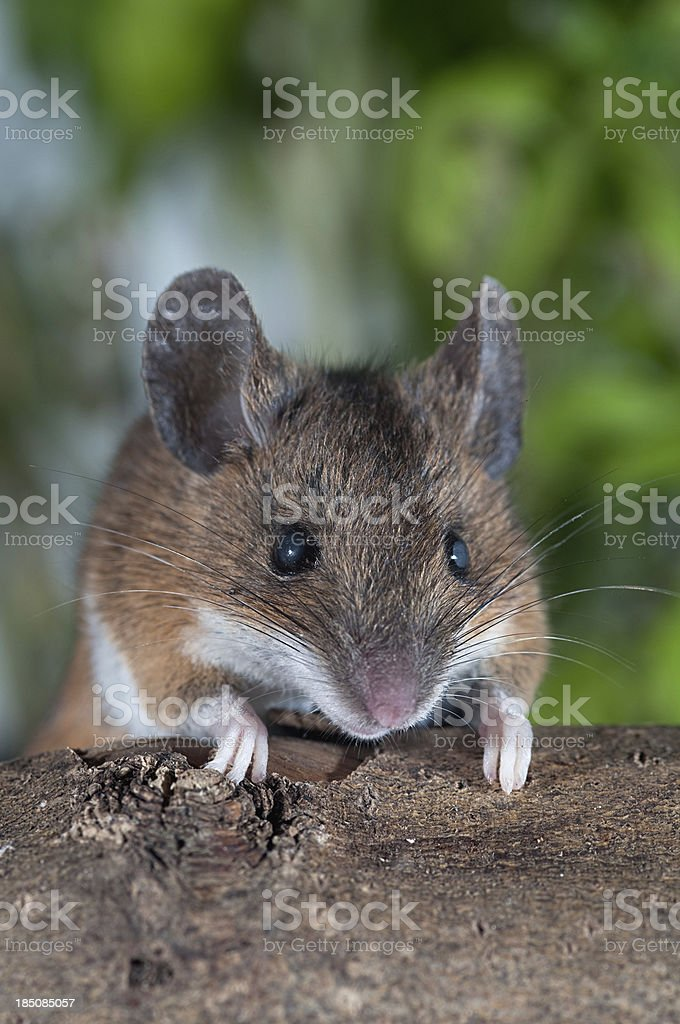 Brown House Mouse stock photo