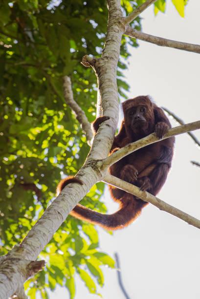 brown howler monkey (alouatta guariba) high in tree in tropical forest. selective focus. - bugio imagens e fotografias de stock