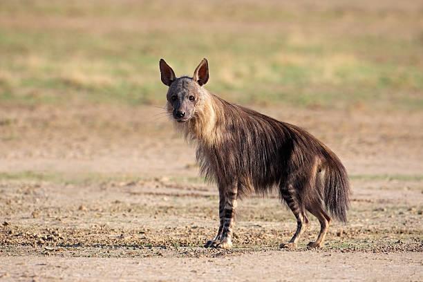brown hyena - hyena stockfoto's en -beelden