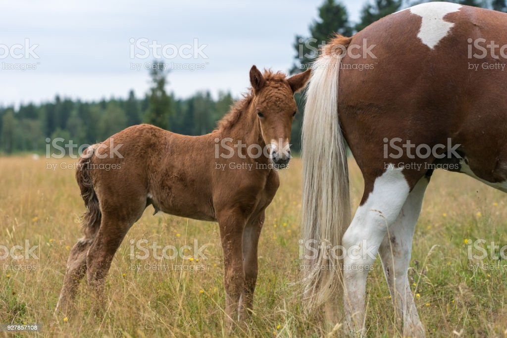 Brown Icelandic horse foal standing close to its mothers rear end stock photo