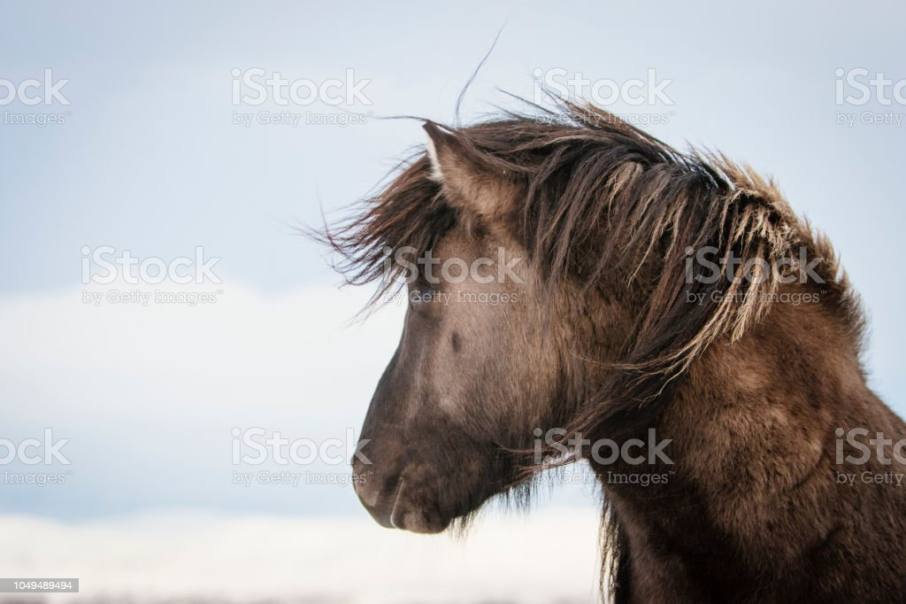 Brown Icelandic horse in the snow, Iceland stock photo