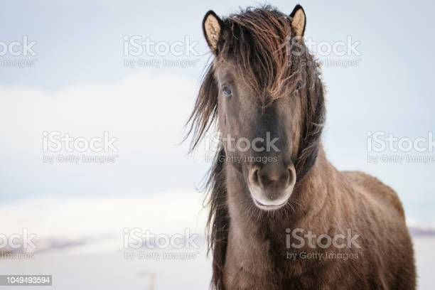 Photo of Brown Icelandic horse in the snow, Iceland
