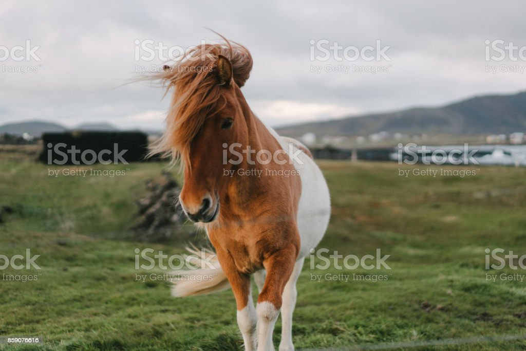 Brown Icelandic horse  on the meadow stock photo